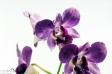 Orchid - 10