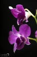 Orchid - 11