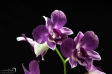 Orchid - 16