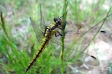 Southern Hawker - 1